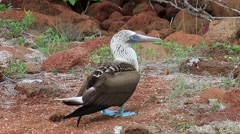 Blue-footed Booby (Sula nebouxii) on North Seymour Island, Galapagos National - stock footage