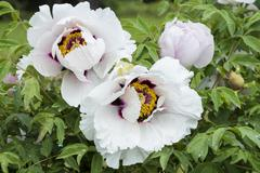 White peony (lat. Paeonia) in Minsk botanical garden, Belarus - stock photo