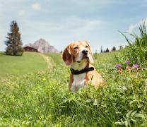 Beagle sitting in high grass on the mountain meadow Stock Photos