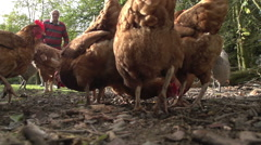 Farmer Throwing Corn To Feed His Free Range Chickens - stock footage