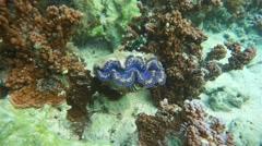 Blue maxima clam Tridacna maxima French polynesia Stock Footage