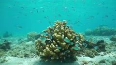 Coral and shoal of fish blue-green chromis Pacific Stock Footage