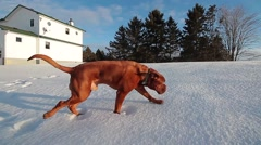 Big dog makes track in snow crust Stock Footage