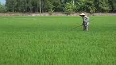 Lonely female farmer working in the green rice fields in Vietnam, Asia - stock footage