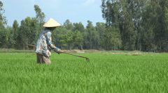 Farming in Vietnam, a woman weeding in a lush rice field in the Mekong Delta Stock Footage