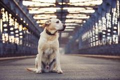 Yellow labrador retriever is waiting on the old bridge - stock photo