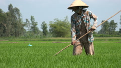 Green rice paddy fields, woman at work, cultivation, Mekong Delta, Vietnam Stock Footage