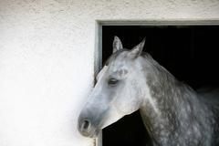 A grey appaloosa horse Stock Photos