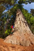Man climbs on big tree in Redwood California - stock photo