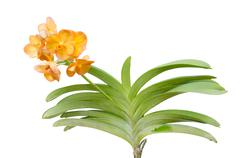 Hybrids vanda orchid isolated on white background - stock photo