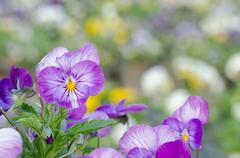 Viola cornuta, horned pansy, tufted pansy Stock Photos