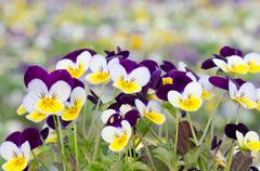 Viola cornuta, horned pansy, tufted pansy - stock photo