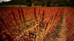 QUINOA in Peru, South America Stock Footage