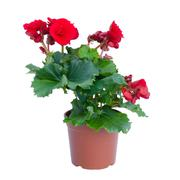 begonia flower in pot isolated on white background - stock photo
