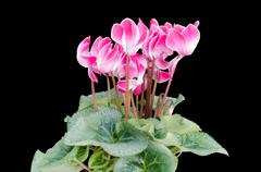 Cyclamen isolated black background Stock Photos