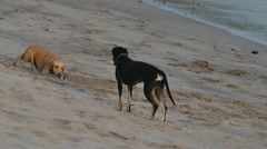 Dogs Playing on Beach - stock footage