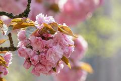 pink blossomed sakura flowers - stock photo