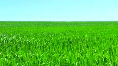 Unripe green wheat field. Unripe green wheat in the field. Spikes Stock Footage