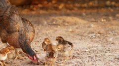 Hen and chicks walking outdoors to find food Stock Footage