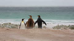 A group of King penguin and a chick walking towards the ocean. Stock Footage