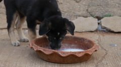 puppies eating from milk bowl in the garden - stock footage