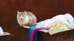 Feral calico cat on trash can Stock Footage