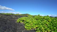 Barren landscape. Lava rocks with a green bush - Hawaii - stock footage