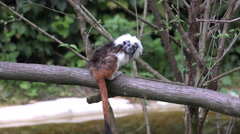 4k Cotton-top tamarin sitting on branch watching camera Stock Footage
