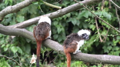 4k Cute cotton-top tamarins jumping on tree branch - stock footage