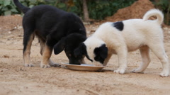 Two puppies eating from milk bowl in the garden Stock Footage