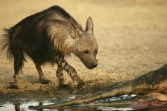 Brown hyena approaching a carcass Stock Photos