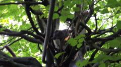4k White-headed Lemures climbing restless green leaves tree Stock Footage