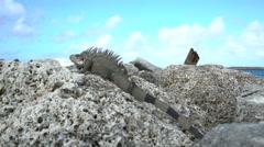 Iguana sun bathe on the rocks in the beach - Bahamas Stock Footage