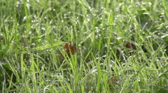 Hiker Walking In Lush Morning Due Grass In Slow Motion Stock Footage