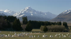 Newly shorn sheep graze on glentanner station Stock Footage