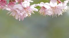 Sakura. Cherry Blossom in Taiwan. Beautiful Pink Flowers Stock Footage