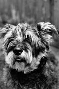 Portrait of a hairy dog - stock photo