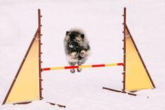 Young Keeshond, Keeshonden dog sit in snow, winter season Stock Photos