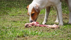 Jack Russell Parson Terrier Chewing A Bone Stock Footage