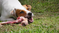 Close Up Of A Dog Chewing A Natural Animal Bone Stock Footage