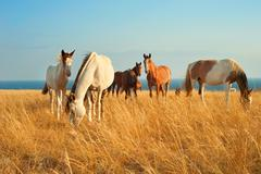 Herd of horses in Crimean prairie in front of the sea Stock Photos