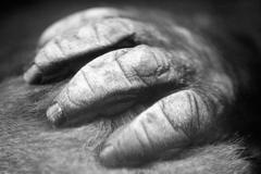 Primate's hand Stock Photos