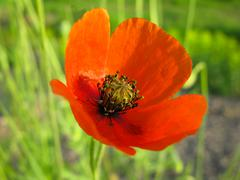 Stock Photo of flower Poppy,  springtime, Scarlet, blooming Close-up
