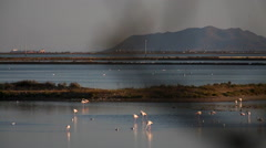 Pink flamingos walking and eating at sunset. Cagliari, Sardinia, Italy. Stock Footage