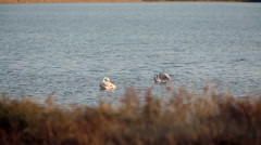 Two pink flamingos in a pond at sunset. Defocused bush in the foreground. Stock Footage
