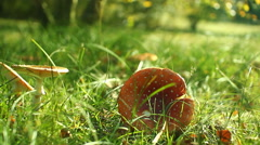 fly agaric mushroom autumn red and white dots Stock Footage