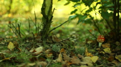 fly agaric mushroom autumn red and white dots - stock footage