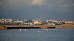 Pink flamingos in Santa Gilla pond, near the city of Cagliari, Sardinia, Italy. Stock Footage