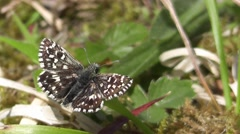 Grizzled Skipper 01. Stock Footage