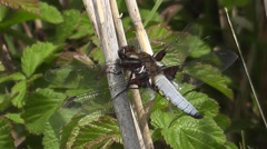 Broad-bodied chaser Dragonfly (male) 01 Stock Footage